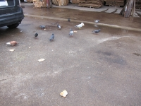 https://danielleaubert.info:443/files/gimgs/th-14_02_pigeons.jpg